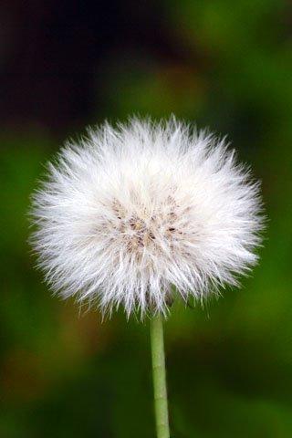 scenic-dandelion.jpg
